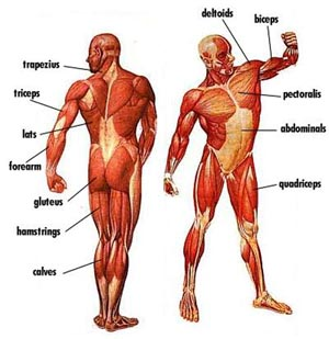 Illustration of man's muscular structure with muscles named